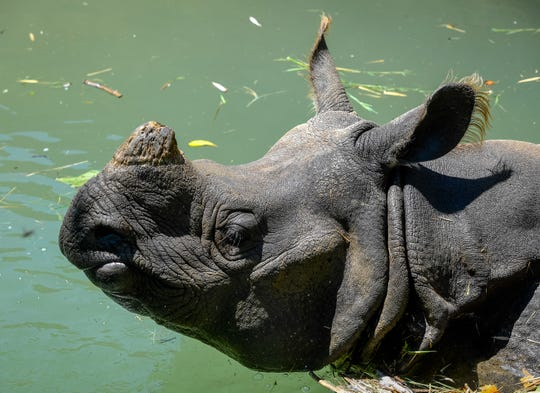Mechi, an Indian Rhinoceros cools off in the water as Evansville's Mesker Zoo Park & Botanic Garden opens to the public for the first time since closing due to the coronavirus pandemic Monday, June 15, 2020.