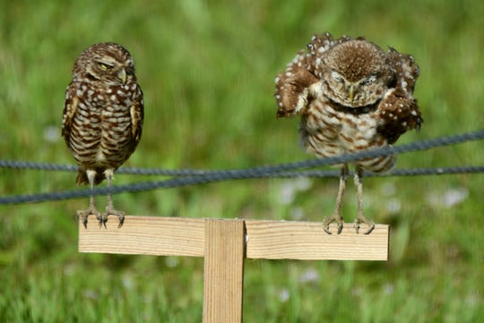 A burrowing owl gets its feathers ruffled. As part of their Owl Watch program, the Audubon Society held a program Saturday morning, taking a walking tour of burrowing owl sites and explaining this threatened but locally numerous bird.