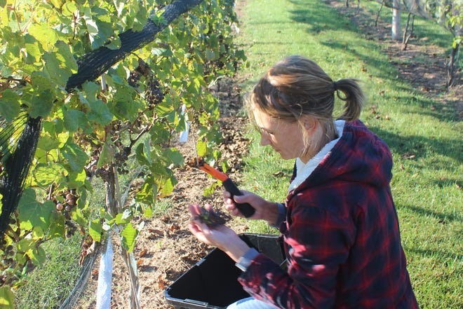 Janelle Carda picks grapes on her property south of Dell Rapids.