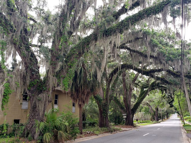Spanish moss drapes the oaks across from 510 Duvall. Duval Street Oaks are part of The Third Live Oak Trail put together by the Tallahassee Garden Club.