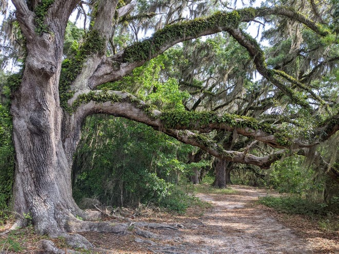 A gnarly specimen of live oak residing on the land bridge between Lake Lafayette and Piney Z Lake on the trail that runs to the railroad tracks. Over 170 citizens nominated their favorite oak trees or joined the Third Live Oak Trail