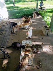 Susan Manzke's hens stand side by side with the farm cats as they enjoy a nightly snack of cat food on the back porch.