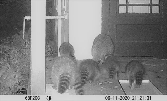 It seems wildlife also has found where a tasty tidbit can be found on Susan Manzke's porch. This ring-tailed crew make quick work of the scraps left for the farm's cats.