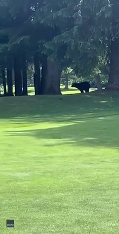 Bear takes a swing at a coyote on a Canadian golf course