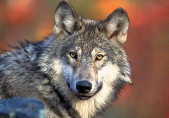 FILE - In this April 18, 2008 file photo provided by the U.S. Fish and Wildlife Service  is a gray wolf.  The wolves removal from the endangered list is being disputed in Minnesota, Wisconsin and Michigan.