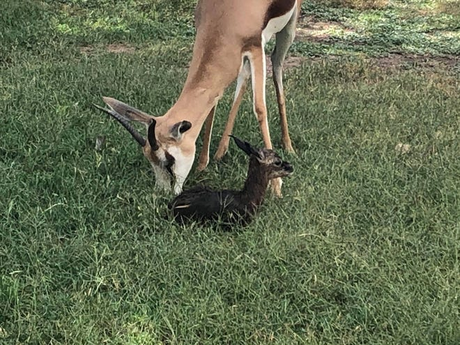 The as-of-yet unnamed male Springbok was born June 6 around 9:53 p.m. to parents Tinkerbell and Peter Pan at the Alameda Park Zoo in Alamogordo, New Mexico.