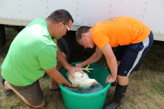 Wayne and Ben Weber wash a chicken prior to the junior poultry show at the 2018 Fond du Lac County Fair.