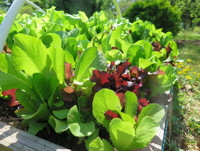 Leafy greens are among the easiest crops to grow, and they are as pretty as they are delicious. Plant several varieties together -- they will flourish. Regular picking encourages them to keep growing. Lettuce is also an excellent early fall crop.