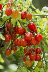 : Prolific, sweet grape-size tomatoes are perfect for snacks in the garden, and they produce so many fruits you'll have plenty for salads all summer long, too. This variety, Fantastico, was an All-America Selections winner in 2014. One plant produces up to 12 pounds of tomatoes.