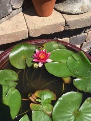 Dr. Raj's water lily