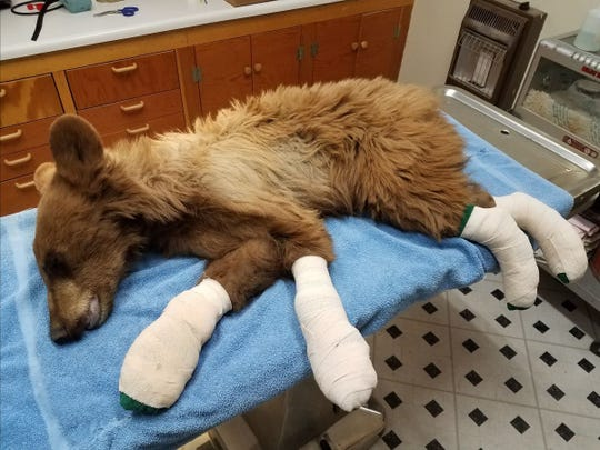 A young male bear was rescued from the East Canyon Fire on June 16.  It is shown at Colorado Parks and Wildlife's rehabilitation facility in the San Luis Valley.