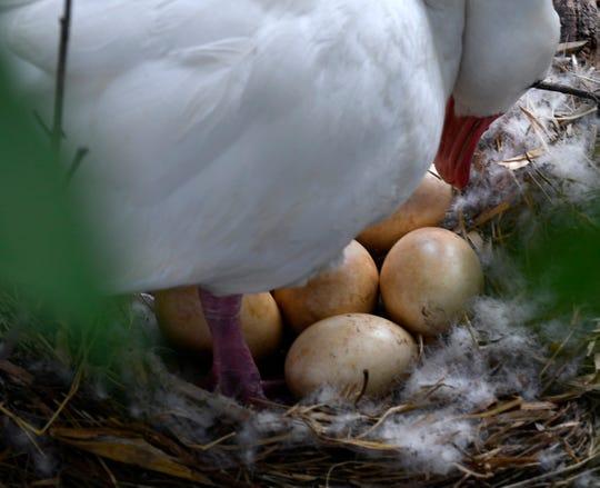 A female coscoroba swan checks her clutch of six eggs.