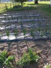 Orderly rows of vegetables are springing up in Lovina's garden as temperatures warm up.