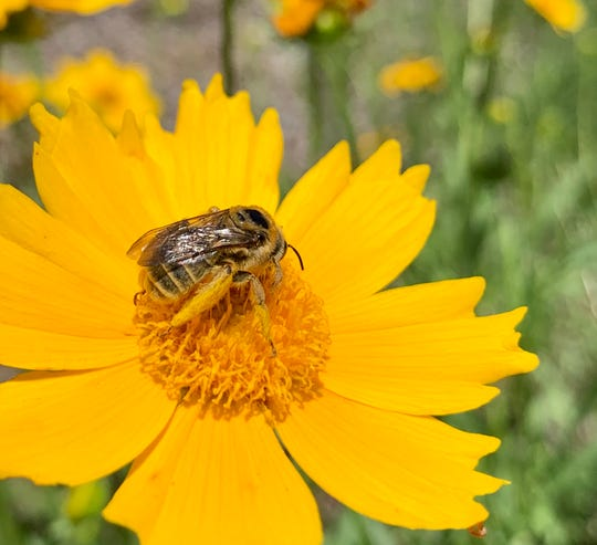 Bee visits a coreopsis flower at the NMSU Agricultural Science Center at Los Lunas Learning Garden earlier this month.