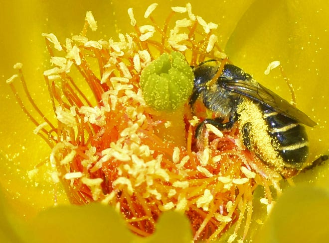 This bee is creating a pollen flurry on a cactus flower in Albuquerque.