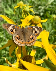 Buckeye butterfly sitting on the flower of a cutleaf coneflower at the NMSU Agricultural Science Center at Los Lunas Learning Garden earlier this month.