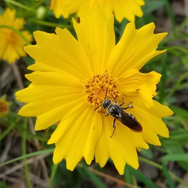 Want to add color to your landscape? Now's the time to plant coreopsis.