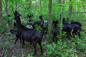 Goats are being used to remove buckthorn from Rotary Park in Mequon.