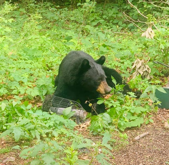 This black bear has taken up residence in Washington Township in recent days after originally being spotted in Camden County.