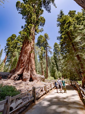Robert E. Lee tree in the General Grant Grove of Kings Canyon National Park on Thursday, June 18, 2020.