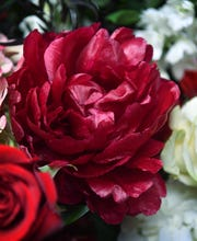 Burgundy peonies will represent the maroon colors of Midwestern State University in a flower arrangement for MSU basketball coach Noel Johnson who died this week.