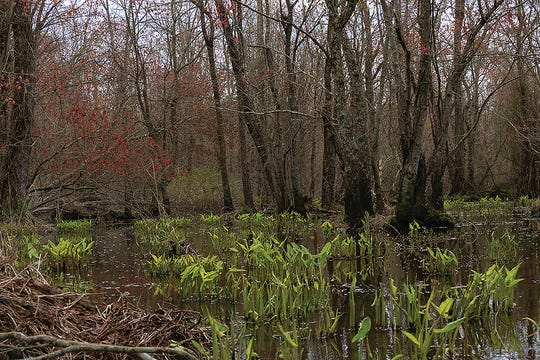 The red and green hues of early spring on the upper Marshyhope Creek.