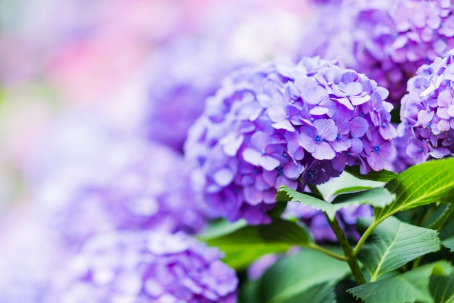 Purple Hydrangea Flower in Early Summer