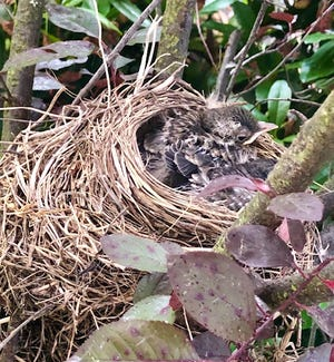 Baby robins in their nest waiting for their mom to return.