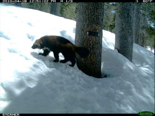 The wolverine was caught on a CDFW game camera in 2010.