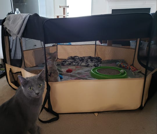 Foster kitten, Twix, inside the playpen while the Staffieri family cat, Kermit, sits on the outside.