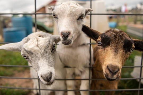 Baby goats play in their pins at MOO-ville Creamery on Tuesday, June 23, 2020 near Ionia, Mich. Monday morning before daylight, six goats that are less than two months old were stolen, then returned in less than 24 hours.