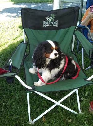 Murfee, the mayor of Fair Haven, prepares to meet constituents at the town park on June 11, 2020. The 3-year-old King Charles Cavalier Spaniel is charged with fundraising for new playground equipment.