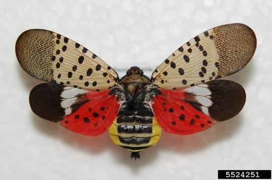 Adult spotted lanternflies are identifiable by their bright body and wing colors.