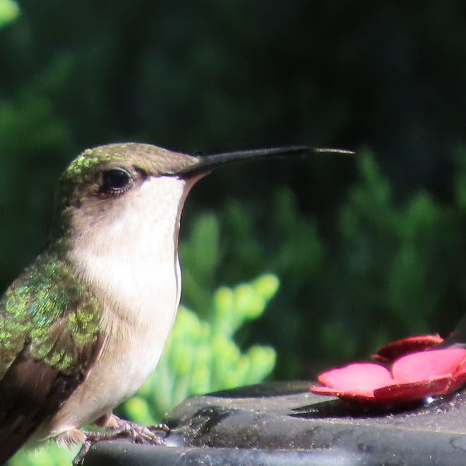 A female ruby-throated hummingbird sits on a feeder in Bill Conners' Pleasant Valley backyard.