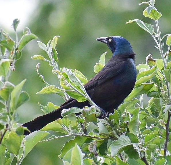 A grackle sits in a tree in Eric Rassin's Hyde Park backyard.