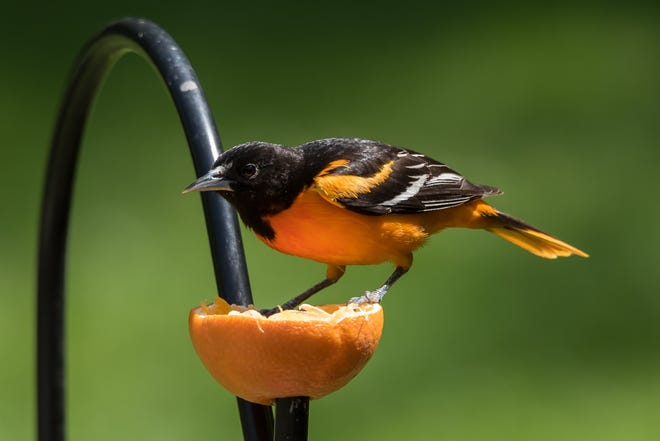 A Baltimore oriole, photographed by Carol Pedersen, snacks on an orange outside her Clinton Corners home.