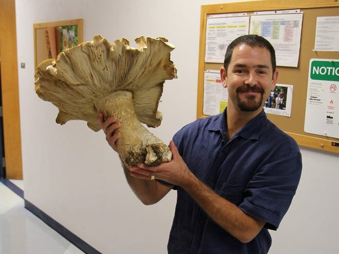 Unlike other mushrooms that seemly pop up overnight, Macrocybe titans grows slowly over several weeks. Its size depends on rainfall. The more rain, the larger the mushroom will grow,  Matt Smith said.