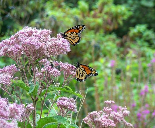 monarch butterflies on pink milkweed flowers in rural wetlands