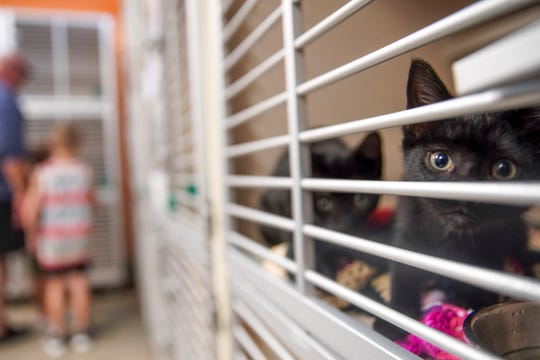 Young kittens peer out from their cages at visitors and potential adopters at Montgomery County Animal Care and Control in Clarksville, Tenn., on Tuesday, June 23, 2020.
