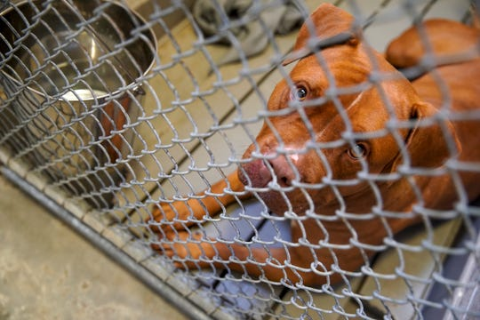 A pit-bull mix up for adoption looks up through holes in the cage fencing of the front door in their kennel at Montgomery County Animal Care and Control in Clarksville, Tenn., on Tuesday, June 23, 2020.