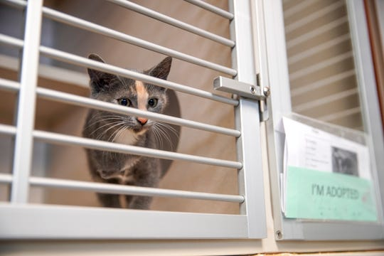 An adopted cat with only three legs walks up to the door of their cage at Montgomery County Animal Care and Control in Clarksville, Tenn., on Tuesday, June 23, 2020.