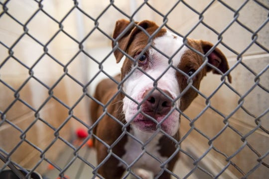 A dog dropped off as an owner-surrender looks through the open front cage door at potential adopters at Montgomery County Animal Care and Control in Clarksville, Tenn., on Tuesday, June 23, 2020.