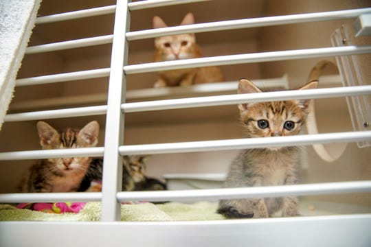 Kittens watch what goes on outside their cages as their mother watches from above at Montgomery County Animal Care and Control in Clarksville, Tenn., on Tuesday, June 23, 2020.