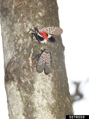 Pola pada sayap lalat lentera berbintik