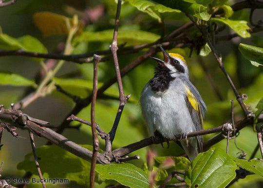 Photographer Steve Buckingham records a rare golden-winged warbler in a in the Sparta Mountain Wildlife Management Area.