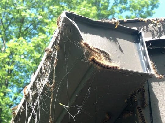 Bob and Kathy Taylor noticed tiny caterpillars showing up everywhere. The creatures quickly multiplied outside their house in South Bristol — crawling on walls, railings and steps, swinging and falling from trees and underneath gutters — ferociously chomping on tree leaves.