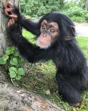 Zane, the 5-month-old chimpanzee at the Detroit Zoo. (Detroit Zoo, Special to the Free Press)