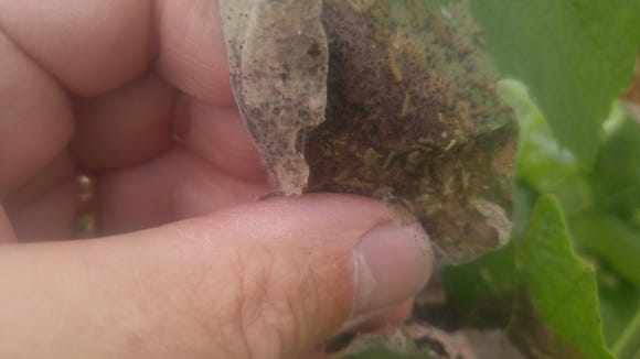 Tender leaf tissue is eaten by dozens of small webworms causing the tougher parts to dry up and turn brown. These tiny larvae have already formed their protective web.