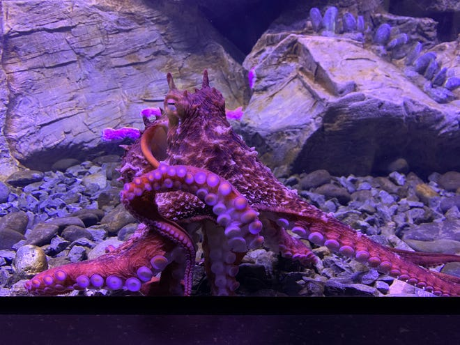 The giant Pacific octopus at Bailey-Matthews National Shell Museum's new, permanent aquarium exhibit.