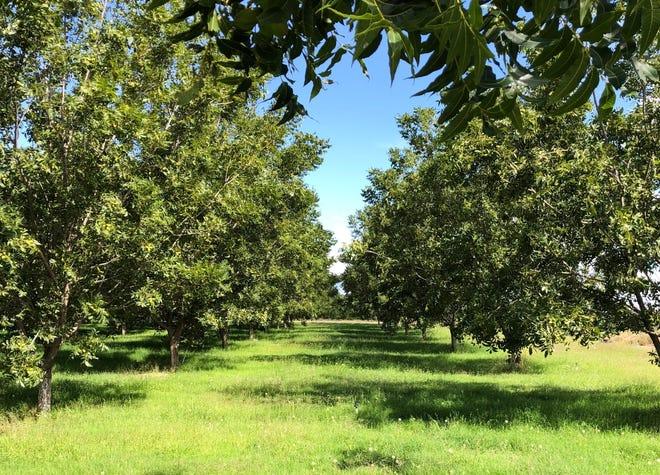 Pecan orchards in Belen, NM grow healthy in rich soil.